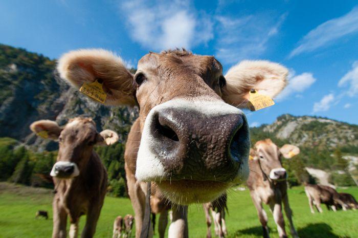 Het hoofd van een koe in een weiland van kikkerperspectief en dichtbij gefotografeerd